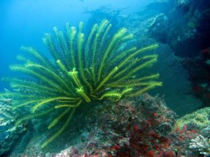 Yellow Feather Star